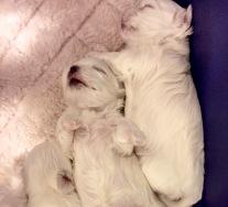 Puppies at almost two weeks Dame: CH I Lovitt at Clair de Lune's Sire: AM/CAN CH Mon'Esta's Razzle Dazzle Man Born: January 2015