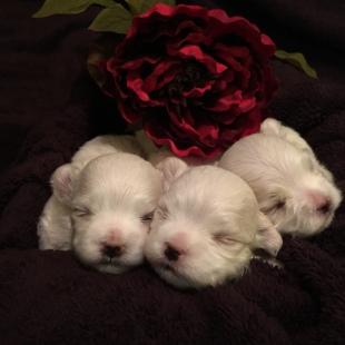 Puppies at two weeks Dame: CH I Lovitt at Clair de Lune's Sire: AM/CAN CH Mon'Esta's Razzle Dazzle Man Born: January 2015
